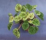 PEPEROMIA CAPERATA 'VARIEGATED', BEAUTIFUL PLANT