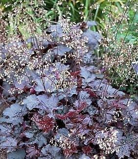 - Purple Coral Bells 30 Seeds-Heuchera - Shade Perennial