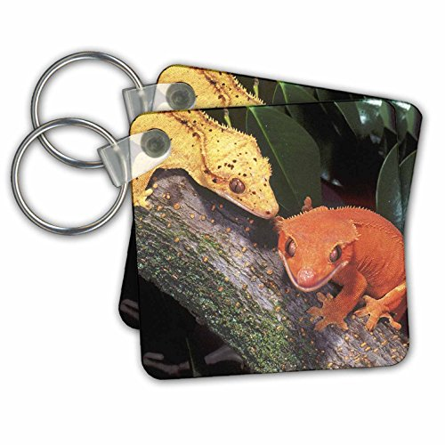 Danita Delimont - Lizards - New Caledonia Crested Geckos, lizard - NA02 DNO0243 - David Northcott - Key Chains - set of 2 Key Chains (kc_83859_1)
