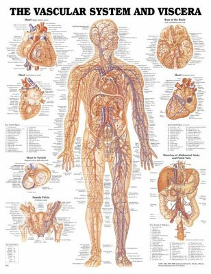 Anatomical Chart Co The Vascular System and Viscera - Laminated ...
