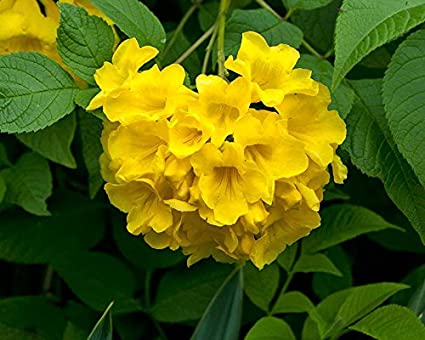Flowering plant trumpet creeper family yellow flower 30 seeds flower flowering plant trumpet creeper family yellow flower 30 seeds flower plant seeds for home flowering mightylinksfo