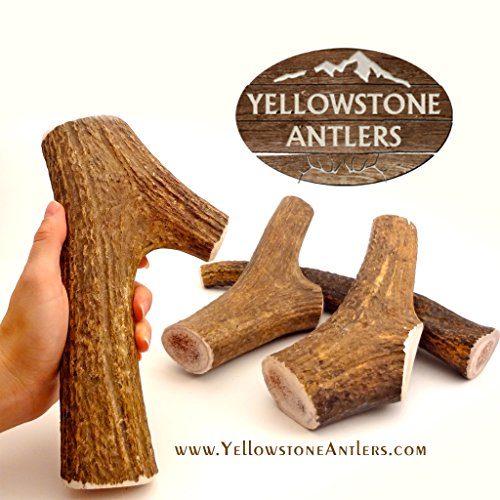 (Yellowstone Antlers Grade-A+ Made in USA, XL Extra-Large Size 8.5-10.5 Inches Long / 12-14 Ounces, X-Large Elk Antler Dog Chews, Dog Bones, Elk Bones Organic Dog Chews for Large, X- Large Dogs)