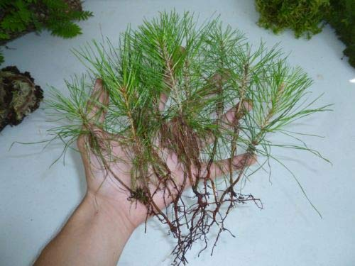 6 Loblolly Pine Seedlings - Evergreen House Plant Tree Perennial Pinus Timber - Loblolly Pine Trees