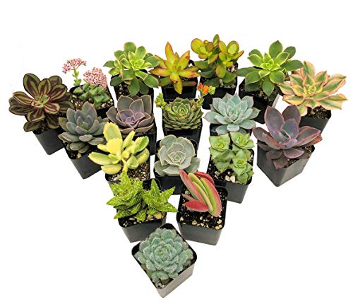 Real Live Succulent Plants (5 Pack), Fully Rooted in Planter Pots with Soil - Unique Indoor Cactus Decor by The Succulent Cult by The Succulent Cult (Image #5)