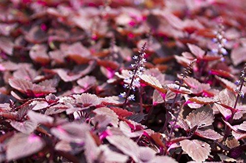 Violett Shiso Samen - PERILLA nankinensis