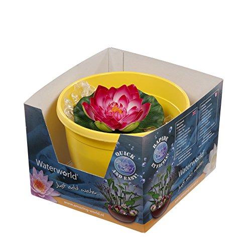 FloraAtHome - Plantes aquatiques - Nymphaea Black Princess - Nénuphar violet, pot jaune