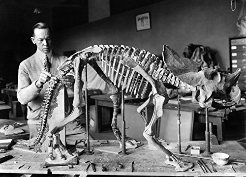 (Dinosaur Skeleton 1921 Npaleontologist Norman Ross Preparing The Skeleton Of A Baby Dinosaur For Exhibition At The Smithsonian Institution In Washington DC 1921 The Bones Dating From Seven To Eight Mi)