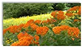 Butterfly Milkweed for Monarchs (Asclepias tuberosa) 50 Certified Pure Live Seed, true Native seed