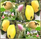 10 x Quince Fruit Tree Seeds Gorgeous Pink Blossoms Zone 4 Hardy ~ Cydonia Oblonga - by MySeeds.Co