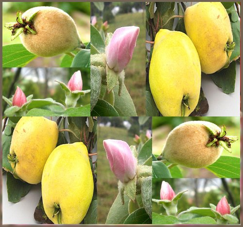 Quince Fruit - 4