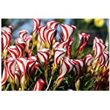 (OVF *Ambizu*) Oxalis Versicolor Flowers Seeds 50pcs World's Rare Flowers for Garden Home Planting O.versicolor Flowers Semillas