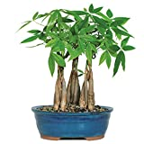 Brussel's Live Money Tree Grove Indoor Bonsai - 4 Years Old; 10' to...