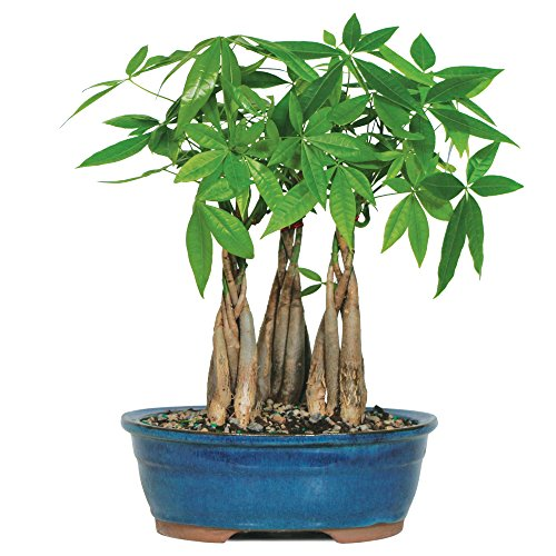 Brussel's Live Money Tree Grove Indoor Bonsai - 4 Years Old; 10'' to 14'' Tall with Decorative Container by Brussel's Bonsai (Image #4)