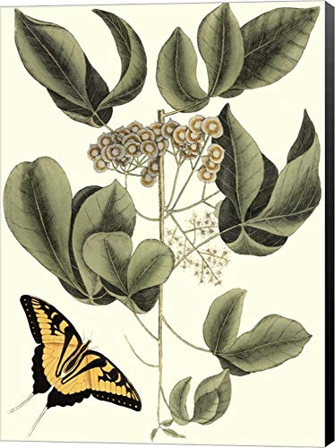 Sm Catesby Butterfly&Botan. II (P) by Marc Catesby Canvas Art Wall Picture, Museum Wrapped with Black Sides, 10 x 14 inches
