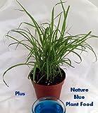 """Lemon Grass Plant - Cymbopogon - With Nature Blue™ Plant Food - 4"""" Pot"""