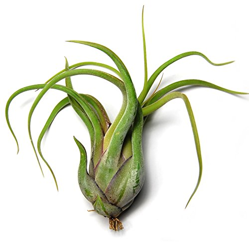 Large Caput Medusae Air Plants - Big 5 to 8 inch air plants - 30 Day Guarantee - Terrarium Plant - Succulents - Free Air Plant Care Ebook By Jody James