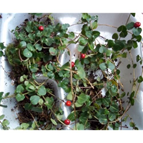 berry plants amazon com