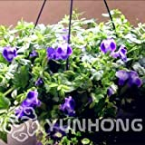 New Arrival Promotion! 100 Pieces/Pack Torenia Fournieri Ornamental Flowers Seeds,Rare Garden Flower Perennial Flower Seeds