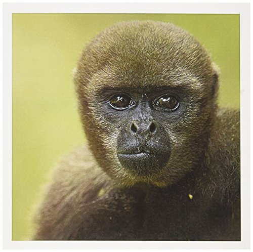 3dRose Common Woolly Monkey Amazon Rain Forest Ecuador SA07 POX1085 Pete Oxford Greeting Cards, Set of 6 (gc_86323_1)