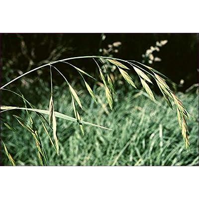Mediterranean Brome Ornamental Grass Seeds (Bromus macrostachys) 50+Seeds : Garden & Outdoor