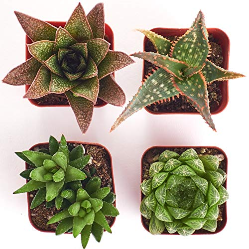 Shop Succulents | Collection of Aloe & Haworthia Succulent Plants in 2'' Grower Pots, Hand Selected, Ideal for Home Décor or Holiday Events | Collection of 4