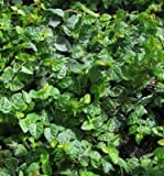 Classy Groundcovers - Creeping Fig Fig Vine, Fig Ivy, Climbing Fig, Creeping Rubber Plant {25 Pots - 3 1/2 in.}