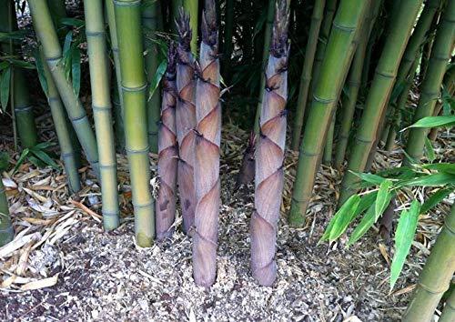 1 Foot Giant Henon Bamboo Plant Rhizome Phyllostachys nigra