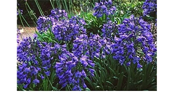 Amazon Com Agapanthus Headbourne Hybrids Cold Hardy Lily Of The