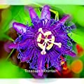Rare Guangdong Purple Passion Flower 'Hankins' Organic Seeds, Professional Pack, 20 Seeds / Pack, Beautiful Climbing Flowers