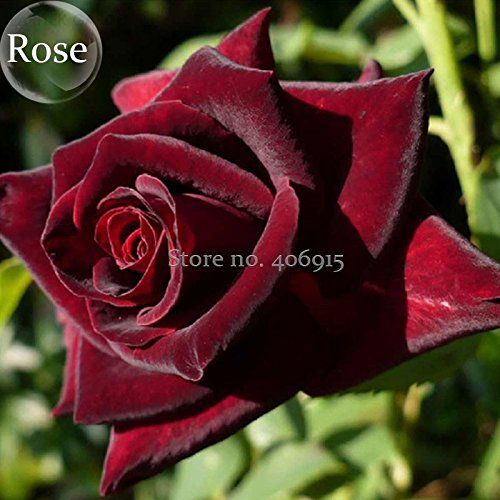 2018 Hot Sale Black Baccara Rose Shrub, 50 Seeds, Home Garden rrnamental Bonsai Plant -