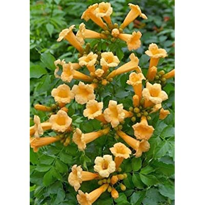 Cheap Fresh Campsis Radicans Flava Yellow Creeper Seeds Get 5 Seeds Easy Grow #GRG01YN : Garden & Outdoor