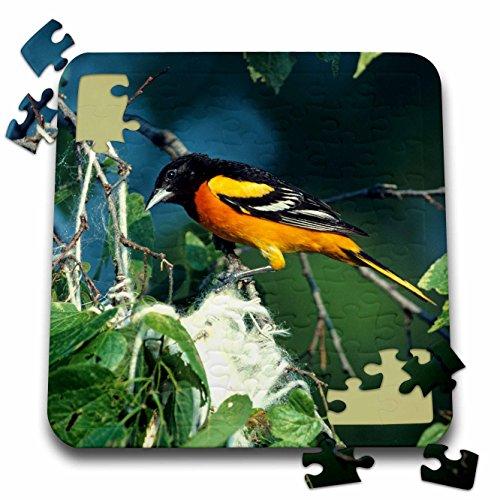 Baltimore Orioles Bird (Danita Delimont - Oriole - Baltimore Oriole male at nest, IL - 10x10 Inch Puzzle (pzl_250838_2))