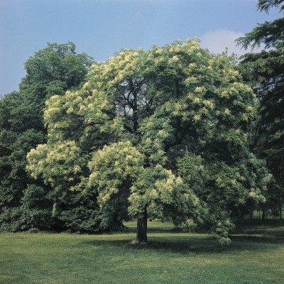 50 Flowering Ash Tree Seeds, Fraxinus Ornus