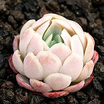 Succulent Live Plant - Echeveria elegans Raspberry ice : Garden & Outdoor