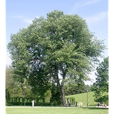 elm, AMERICAN ELM TREE, 85 seeds : Garden & Outdoor