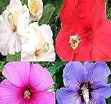 Rose of Sharon Seeds - GORGEIOUS PERENNIAL Shrub - Rose Althea - H. syriacus - VIBRANT MIX HIBISCUS - Zones 5-9 (0400 Seeds - 1/4 oz)
