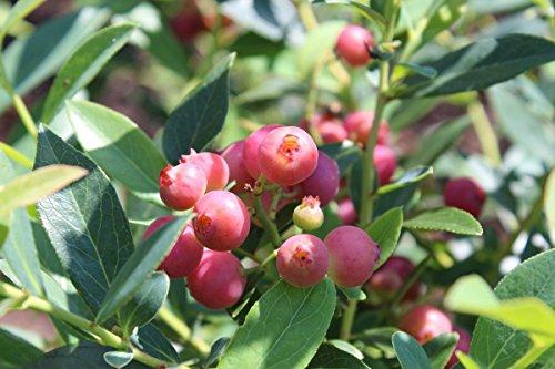 Pink Lemonade Blueberry - Live Plant - Quart Pot