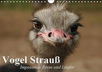 Vogel Strauß Imposanter Riese Und Läufer Wandkalender 2019 Din A4