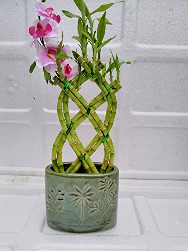Jmbamboo- Live 8 Braided Style Lucky Bamboo Plant Arrangement with green Vase by JM BAMBOO