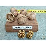 Zwerg-Walnuss Dwarf Karlik® - einjährige, veredelte Pflanze im 5L-Topf