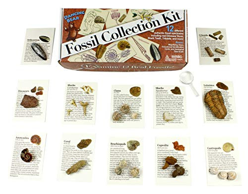 Dancing Bear Fossil Collection Kit (12 pc): Trilobite, Dinosaur Bone, Shark Teeth, Coprolite (fossilized Turtle Poop) Fossil ID Book, Magnifying Glass, STEM Science Set, Brand