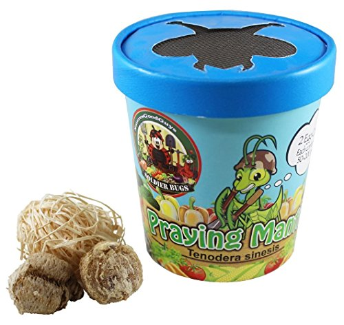 Praying Mantis Egg Case With Hatching Habitat Cup- 2 Praying Mantids Egg Cases