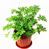 Shoopy Star 100 Pcs/Bag Mosquito Repellent Seeds Buster Vanilla Seeds Health Flower Seeds