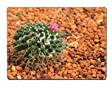 MSD Placemat Image ID 24585900 Golden ball cactus Echinocactus grusonii