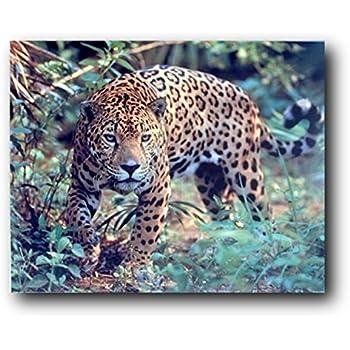 Amazon Com Jaguar Panthera Leopard Prowling Cat
