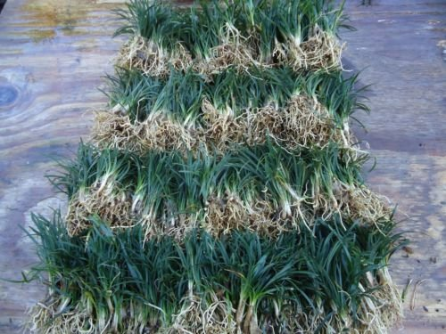 New and Healthy DWARF MONDO GRASS 220 PIPS EVERGREEN GROUND COVER ROCK GARDEN BORDER NANA VARIETY by Unknown