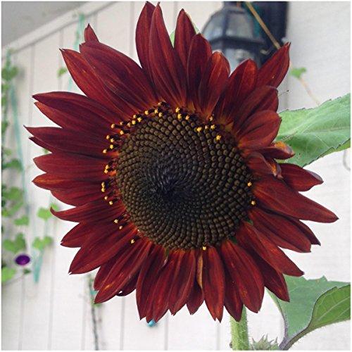 sunflower seed plants - 9