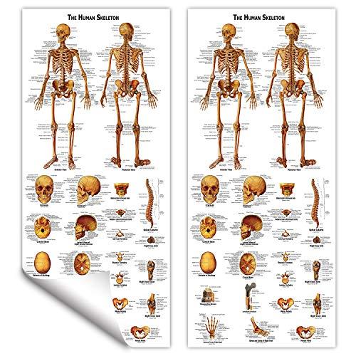 Anatomical Chart Skeletal System (RONTEN Human Skeleton Poster Skeletal System Anatomical Chart)