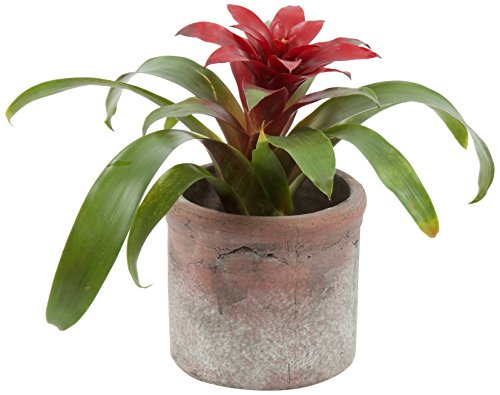 """Color Orchids 2302 Live Blooming Bromeliad Plant in Ceramic Pot, 10"""" x 15"""", Red"""