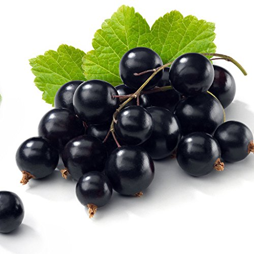 Tiben Black Currant Plant - Elixir of Youth - Bare -